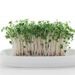 ブロッコリーの新芽には薄毛などに良いすごいパワーがある?
