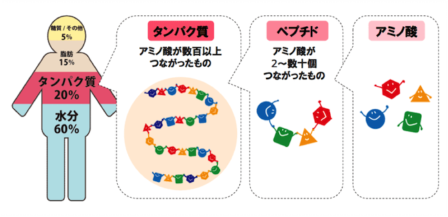 人体とタンパク質とアミノ酸